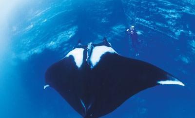Socorro Island Giant Mantas