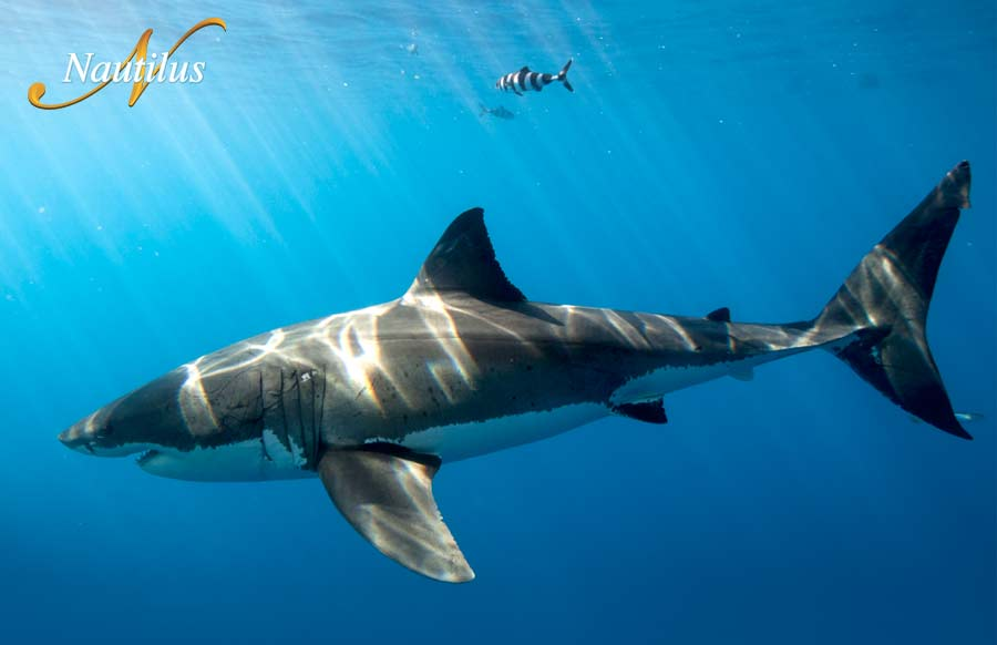 Natural interaction with great white sharks using submersible cages