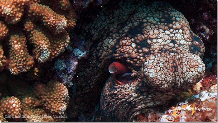 Nautilus_Explorer_Octopus_MikkoVarpiola