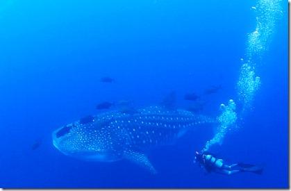 whaleShark_Socorro