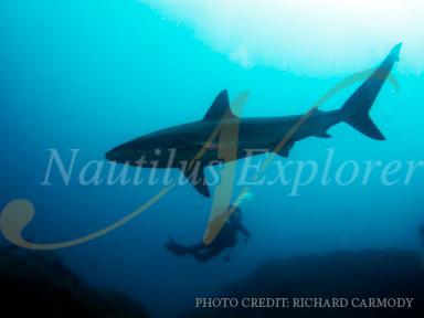 Shark diving Socorro Island, Mexico. Nautilus Explorer.
