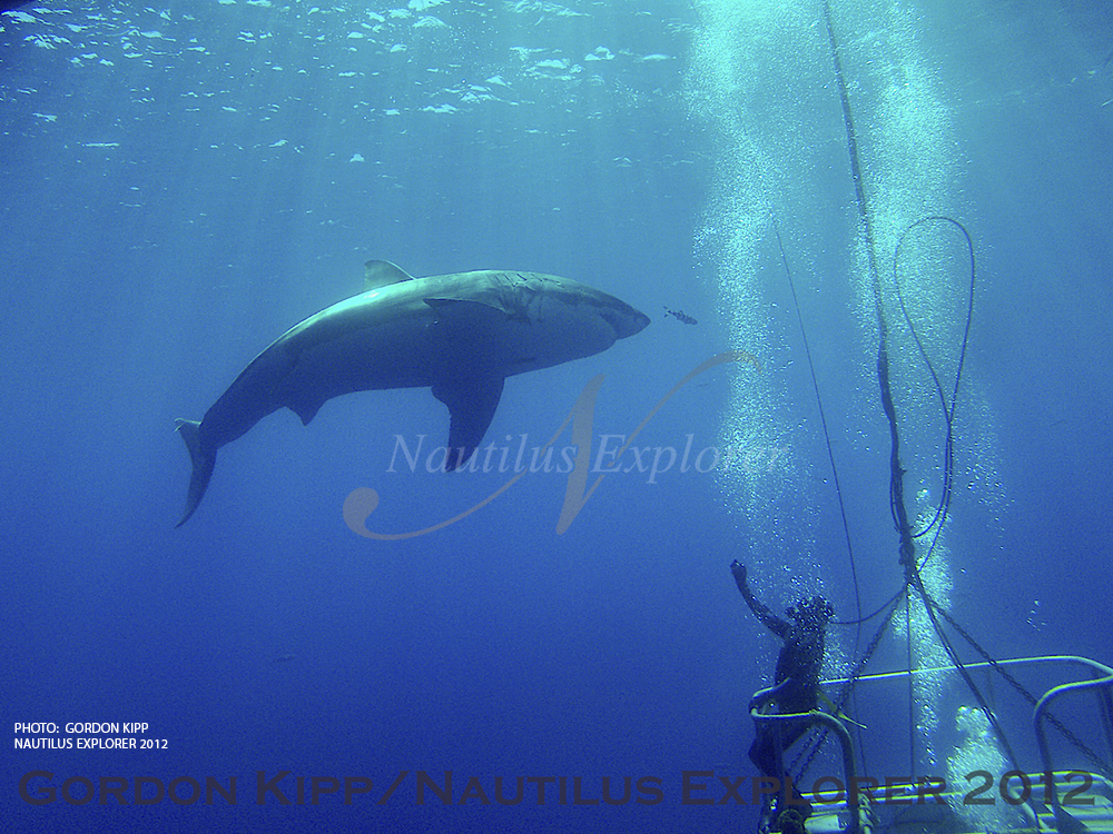 Great Whites in Guadalupe by Gordon Kipp