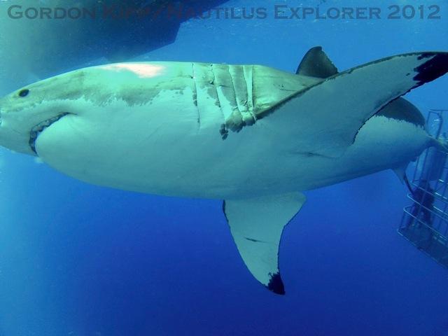 White sharks Sept 10