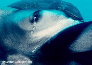 crying manta