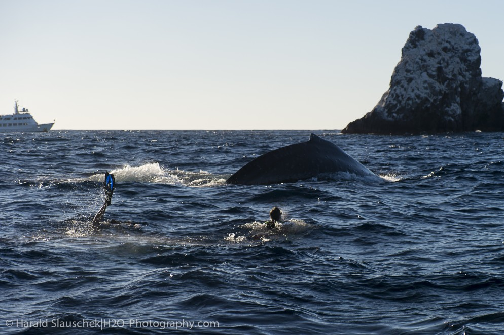 snorkelling with humpback whales