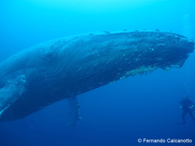 Humpback whales of Socorro