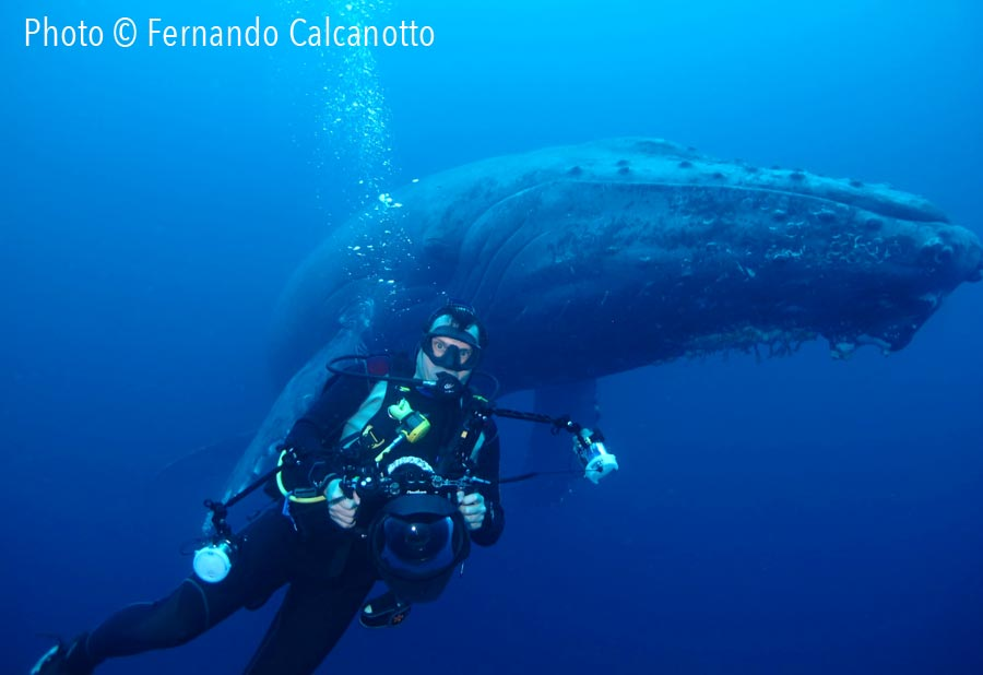 Diver snorkelling next to a humpback whale