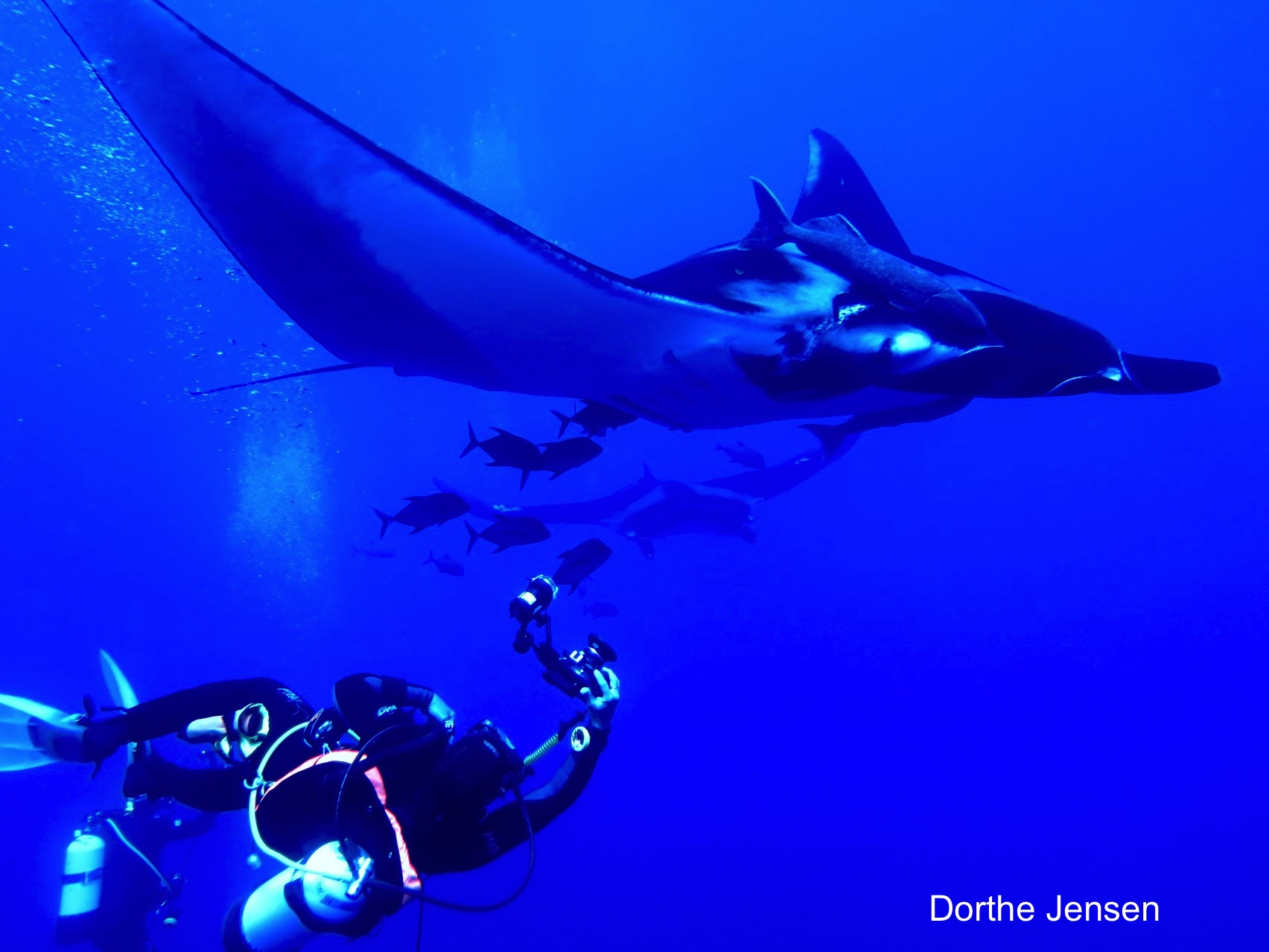 Manda swimming with diver