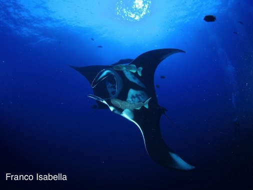 Giant Mantas With Diver