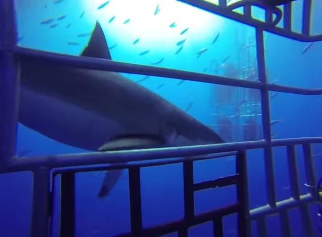Shark stalking cage
