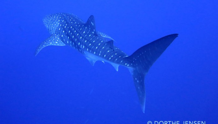 Whale shark swimming by at Roca partida