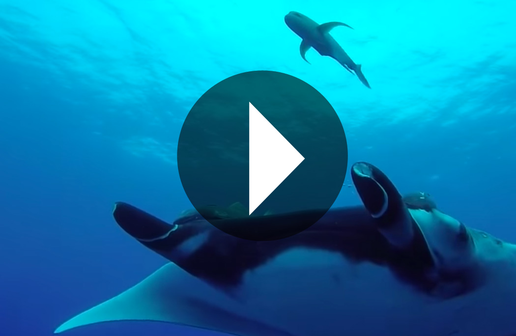 Watch this video of Socorro Island featuring Dolphins and friendly giant mantas