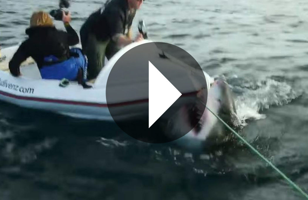 A bad idea with great white sharks