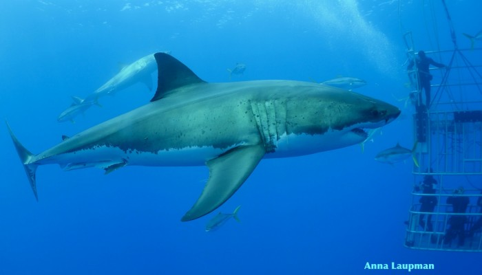 great white sharks with cage divers