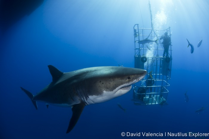 great white shark with divers
