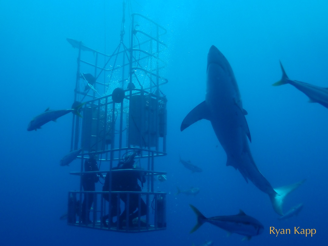 great white shark with divers in cage