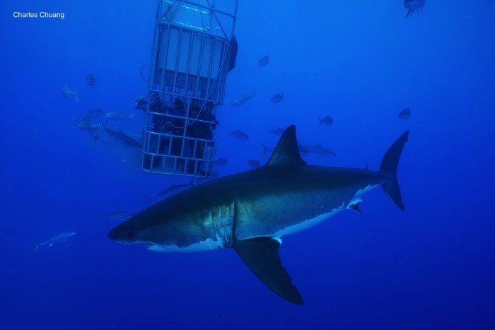 great white shark circling divers in submersible cage