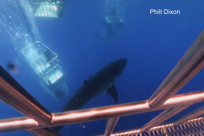 great white sharks and divers