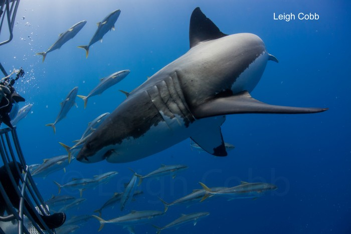 great white shark with diver