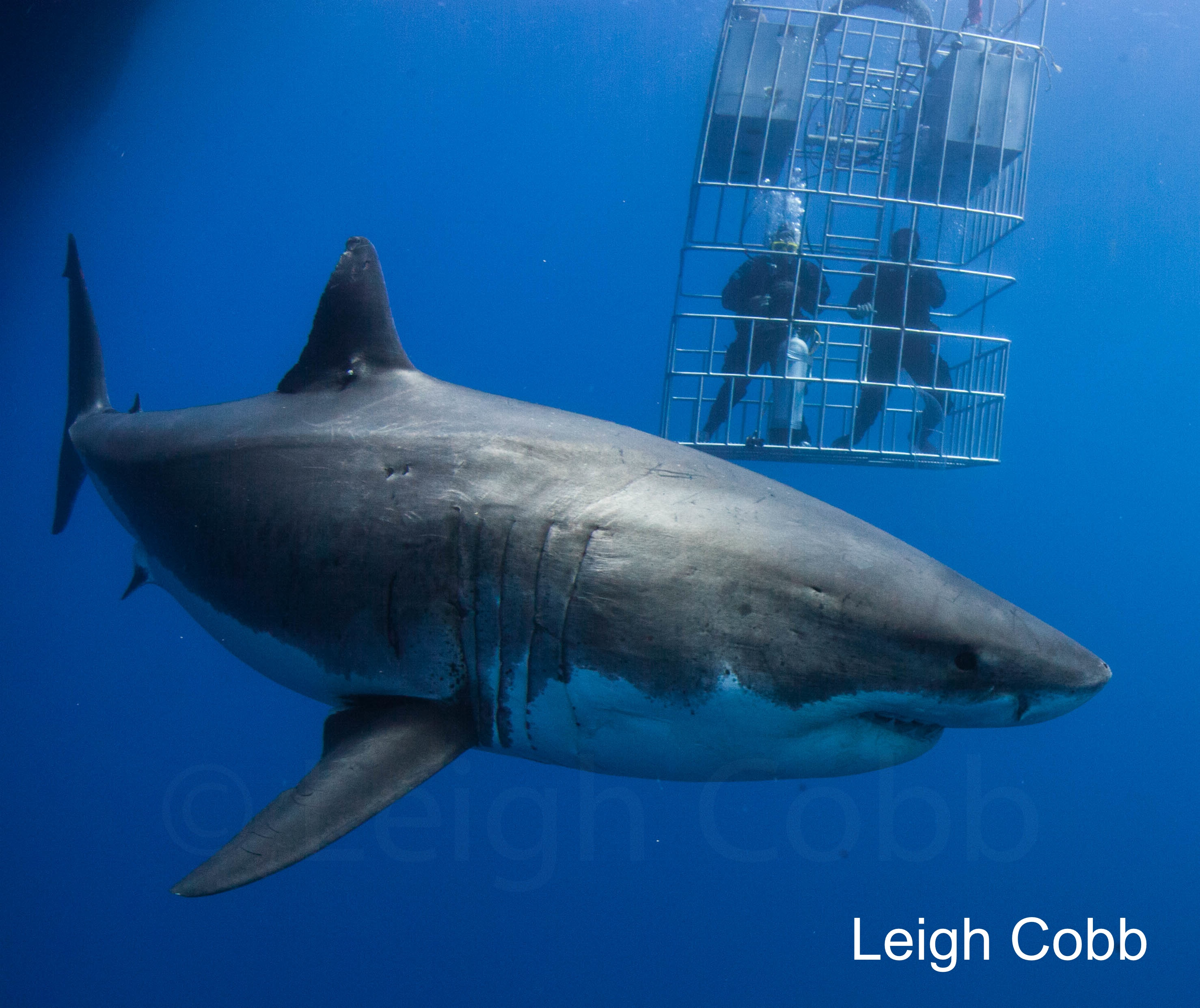 great white sharks with diver