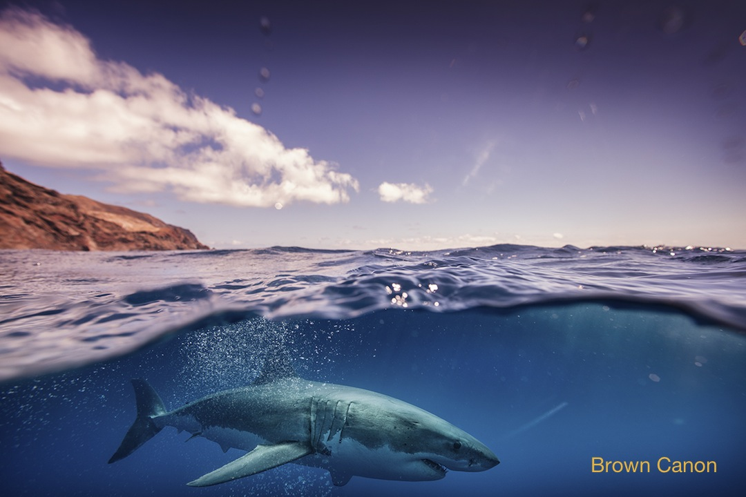 great white shark just under the surface at Guadalupe island