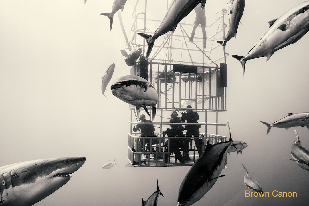 great white sharks and submersible cage