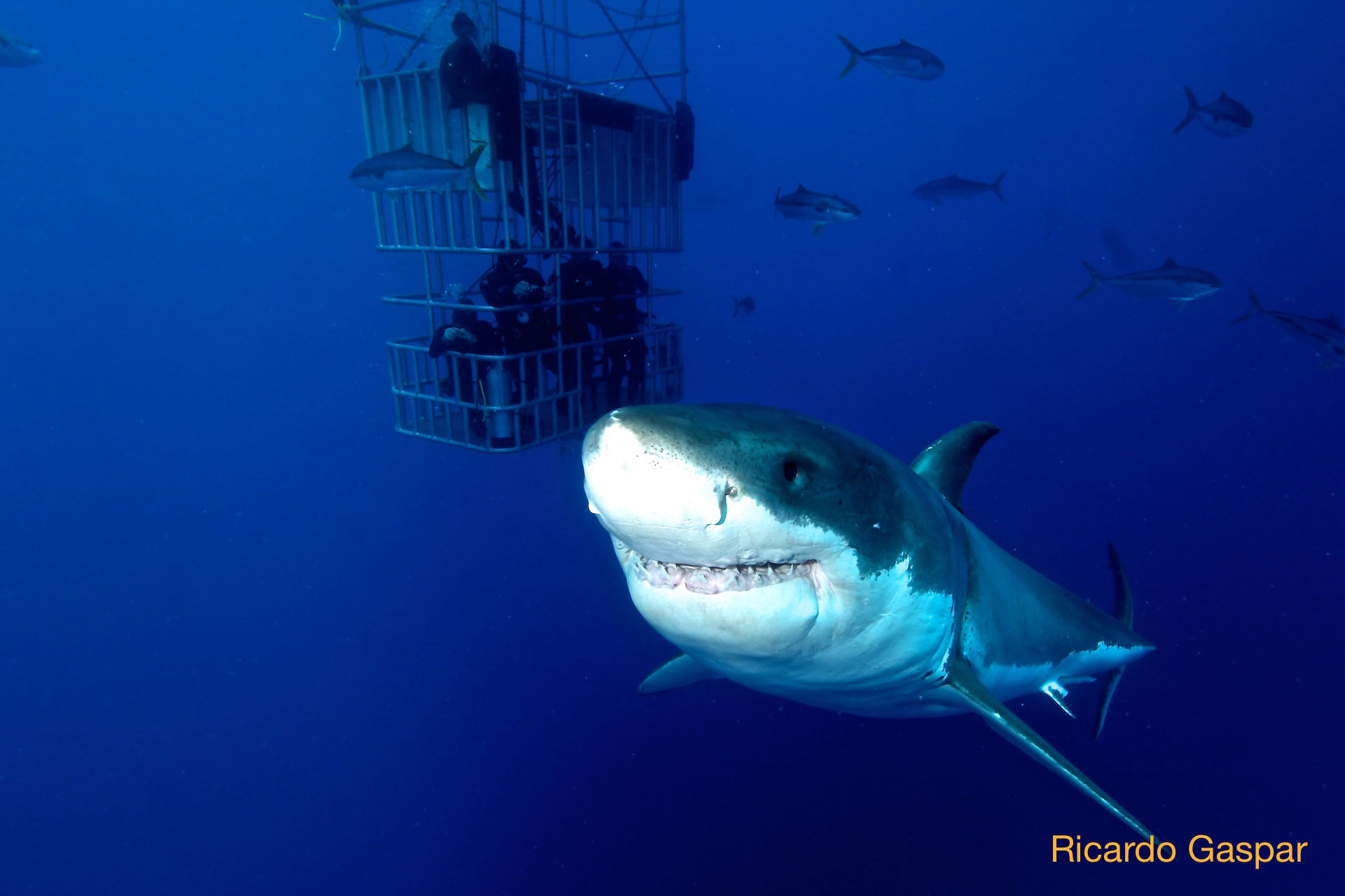 Great white shark smiling with divers in the background
