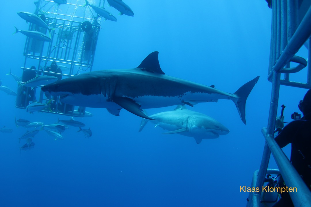 two great white sharks and cages