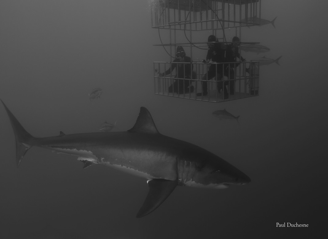 Great White Shark WIth three divers in a cage at Guadalupe Island