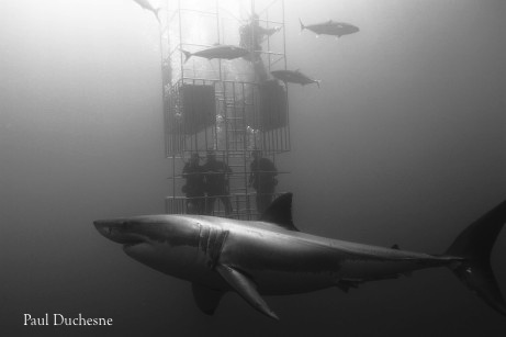 great white sharks with divers at Guadalupe Island