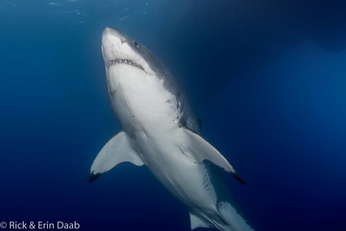 beautiful great white shark
