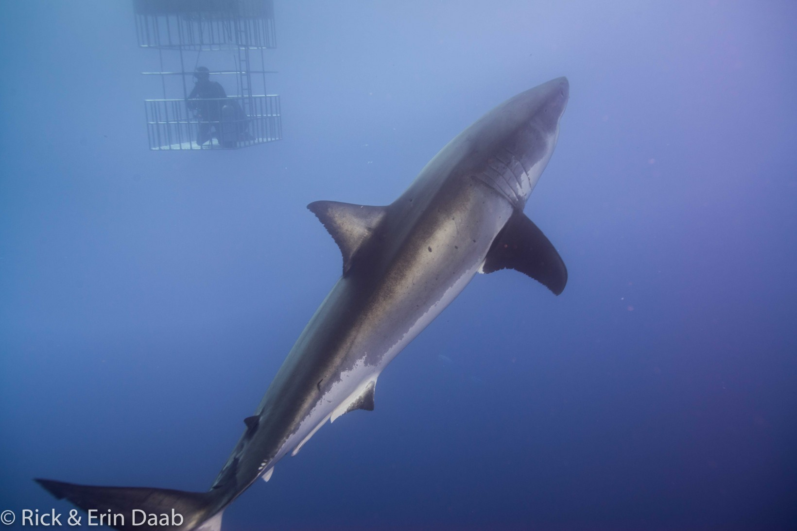 Great White Shark and Diver In Submersible Cage