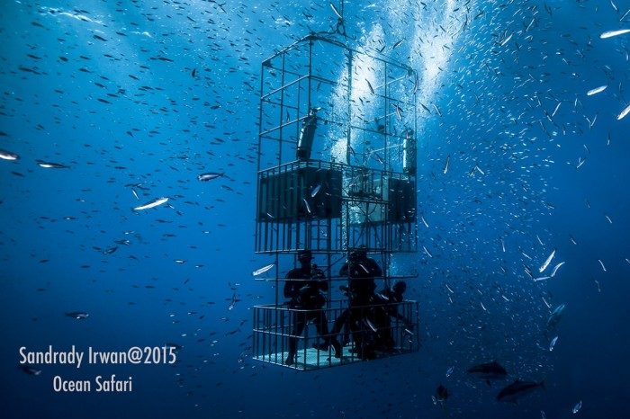 great white sharks submersible cages with divers