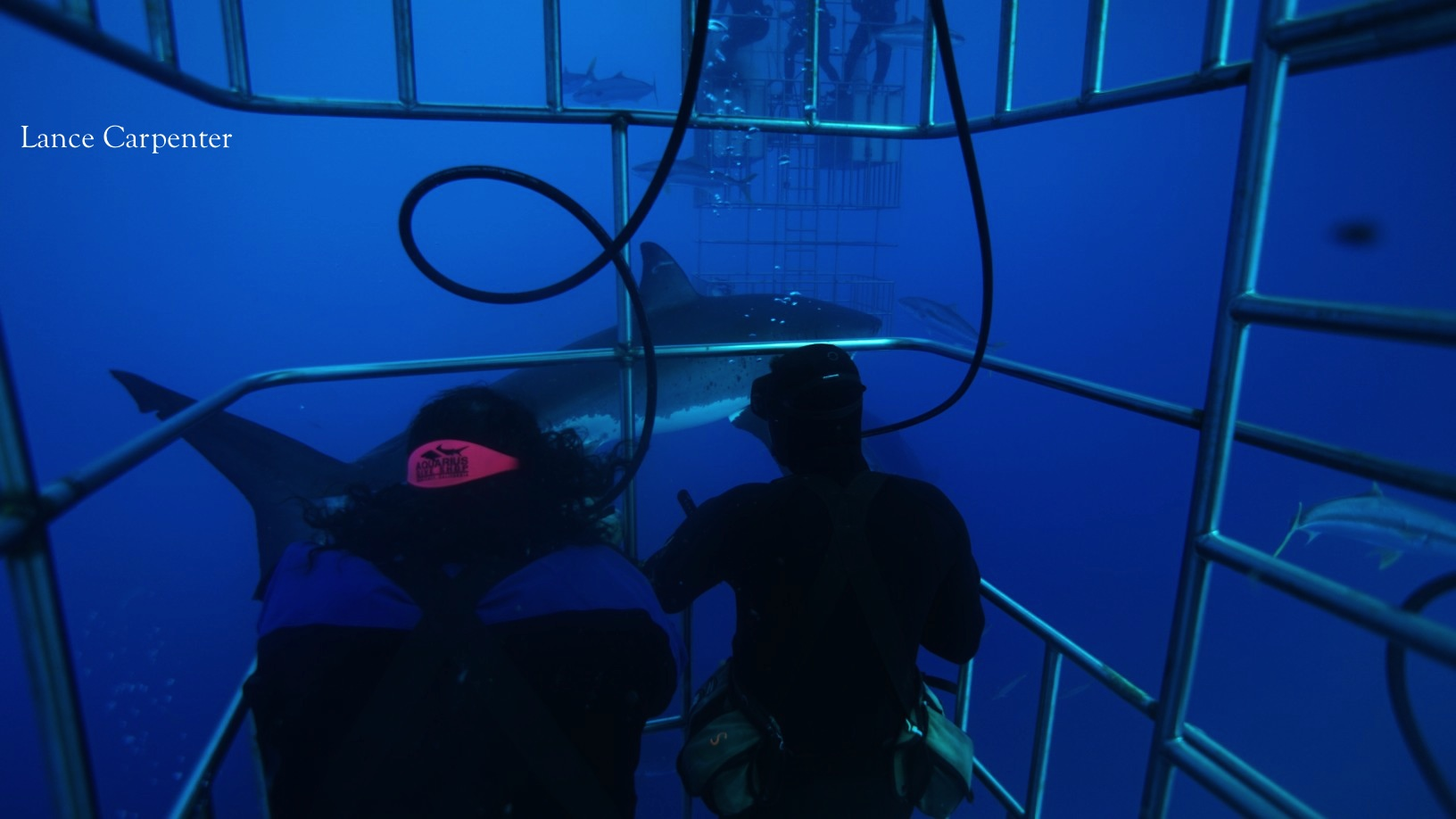 Divers and great white shark around the submersible cages