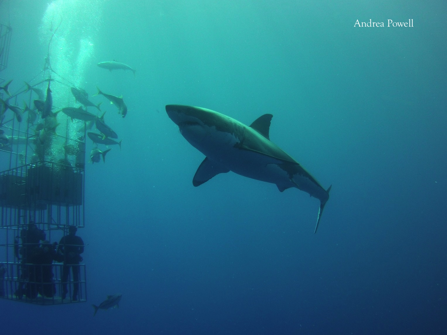 looking up at a great white shark