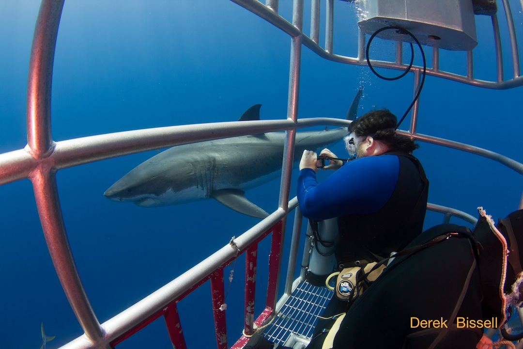 great white shark cautiously swims by a diver in a cage