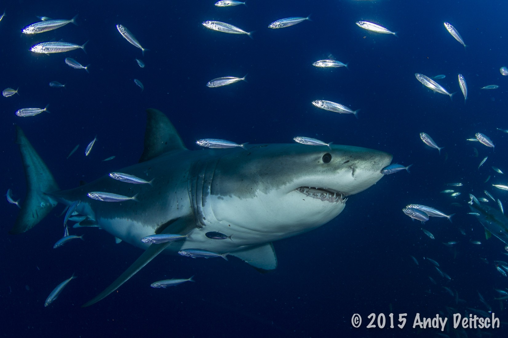 Great White Shark with Nautilus Belle Amie
