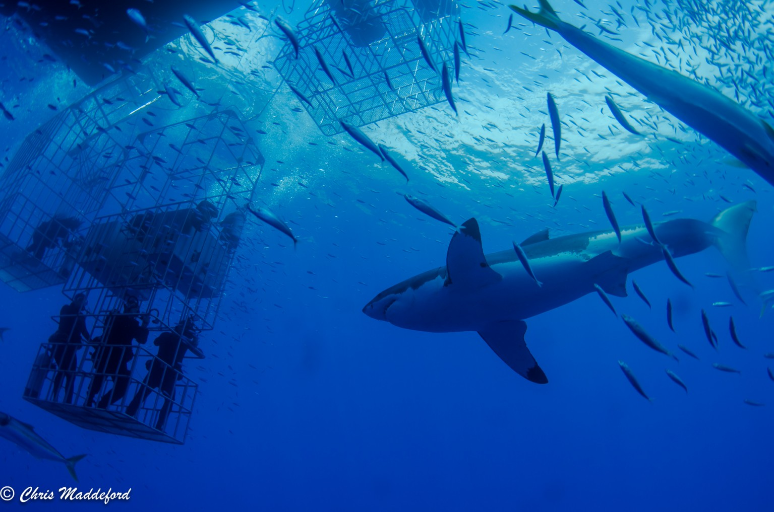 diver looking up from the submersible cage at a great white shark