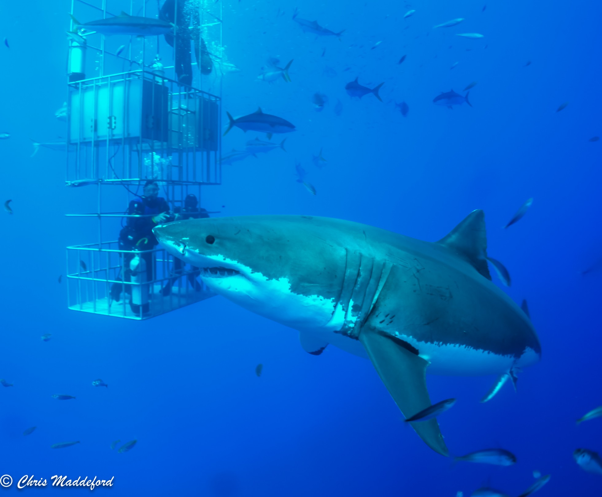great white shark with divers in submersible cage
