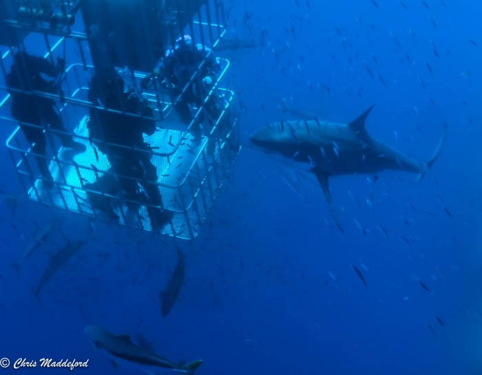 great white shark and divers in submersible cage
