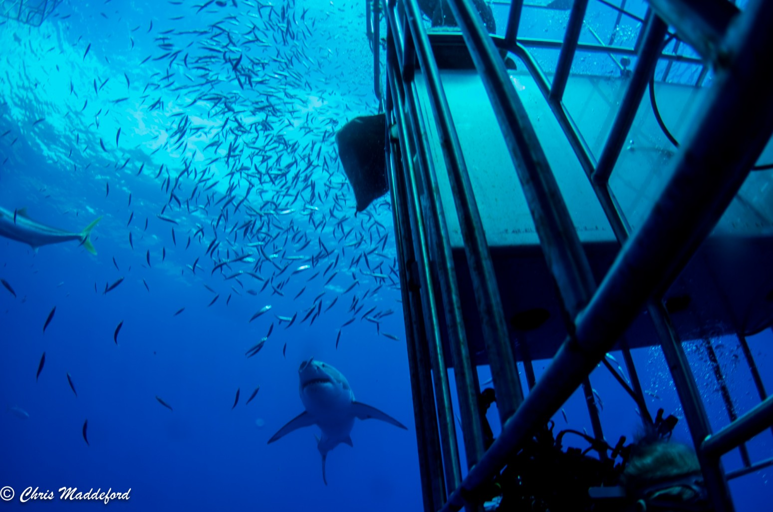 great white shark and divers in cage