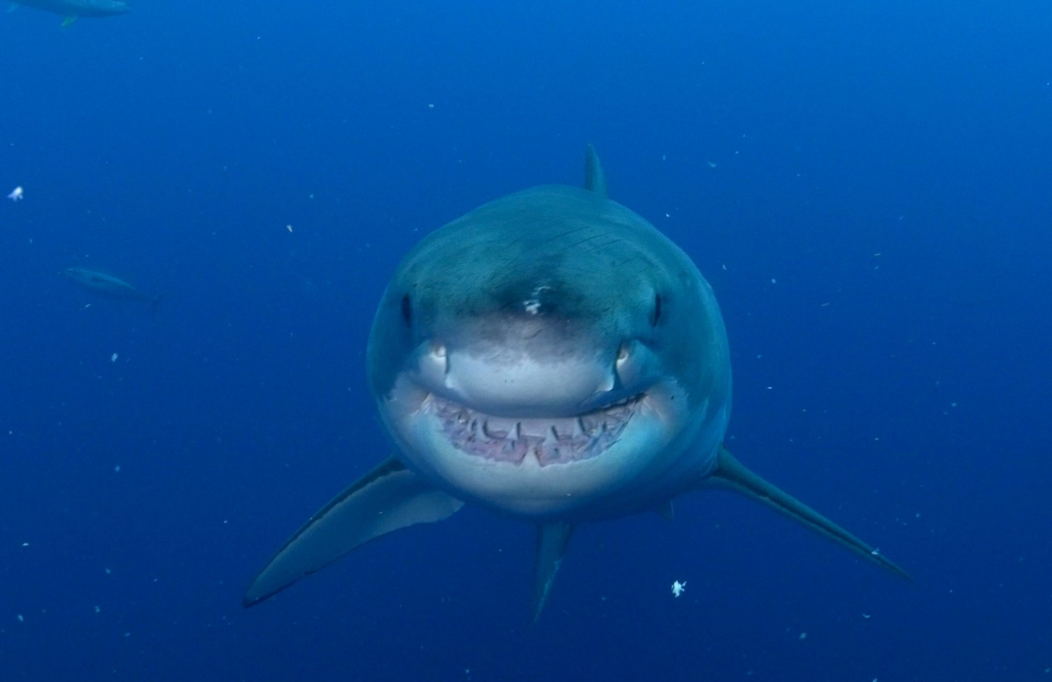 Smiling great white shark
