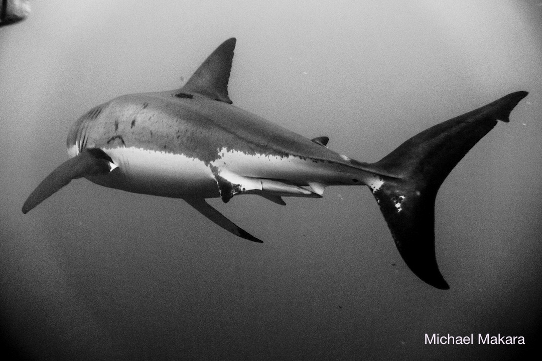 great white shark with sad face markings