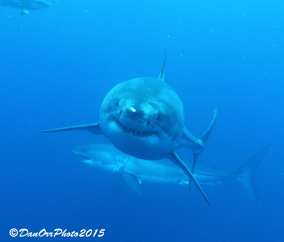 2 Great White Sharks