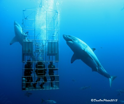 2 great white sharks with divers in cage