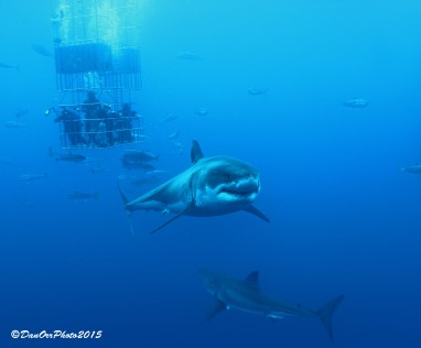 2 great white sharks and submersible cage