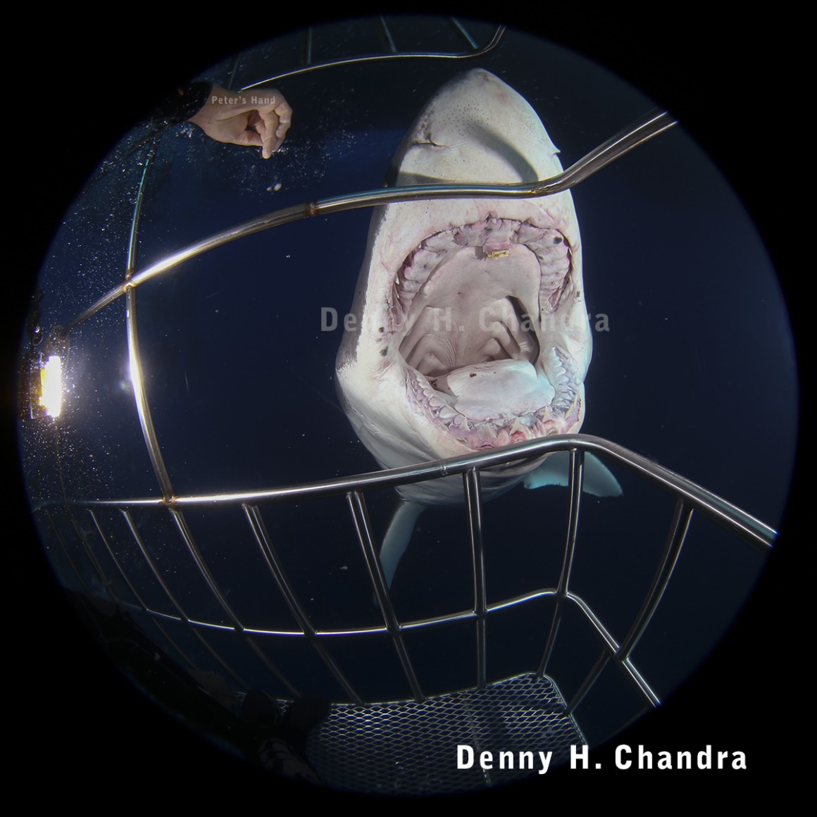 Great white shark biting on cage