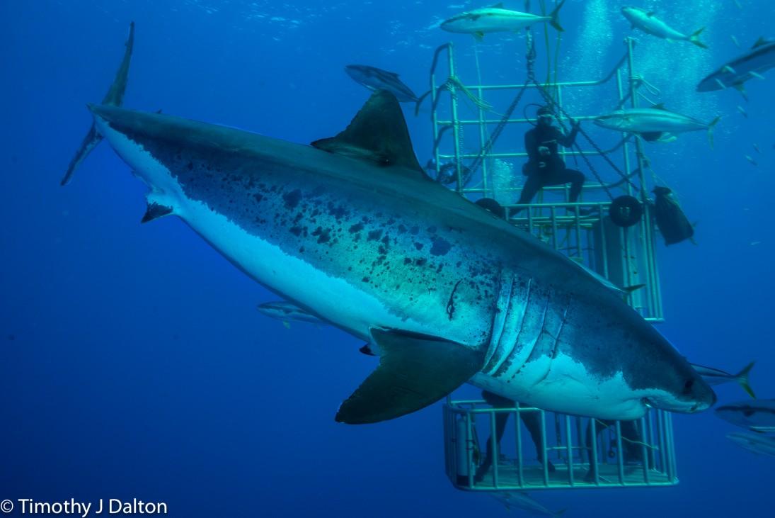 Great White Shark With Divers In Nautilus Submersible Cages