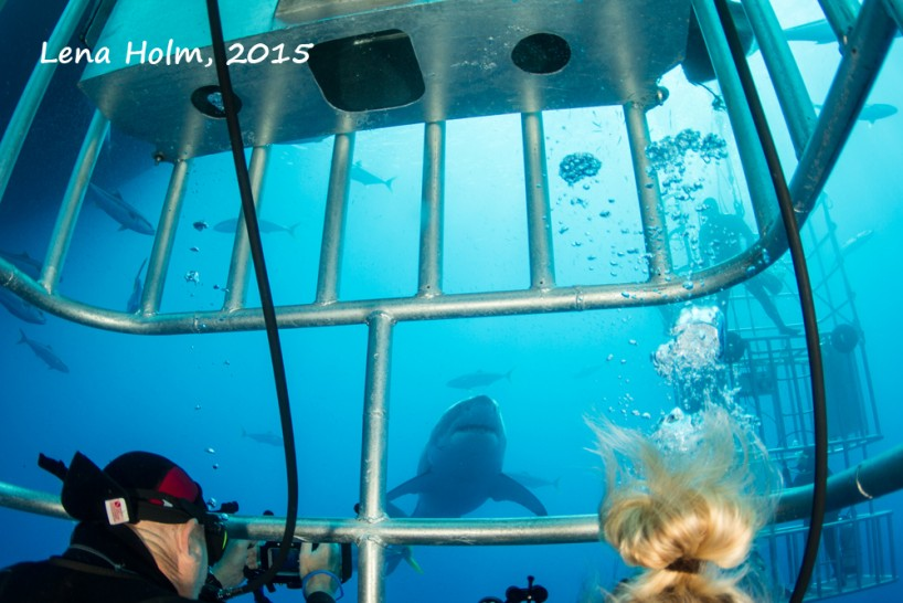 Diving with great white sharks in our submersible cages