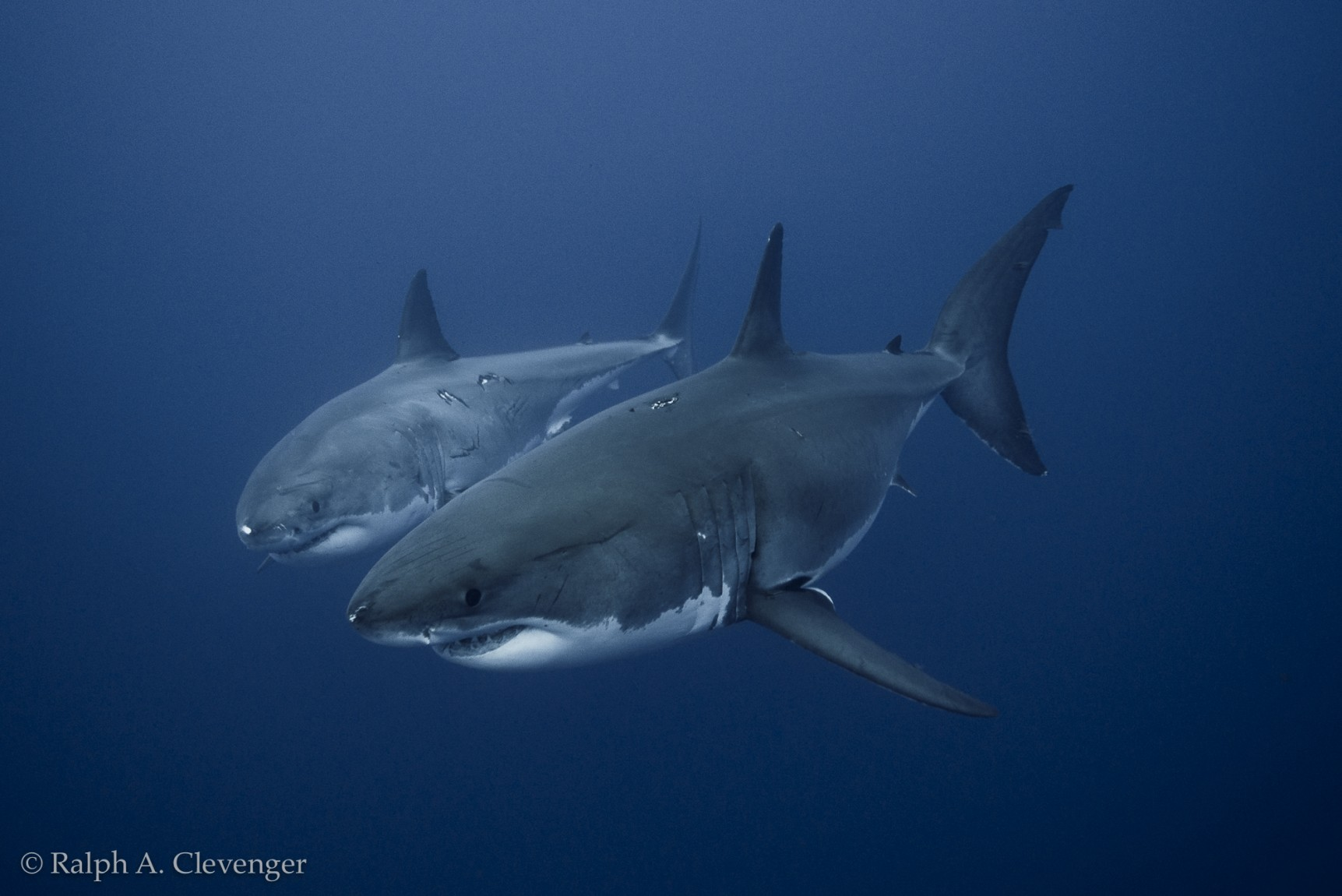 two great white sharks side by side